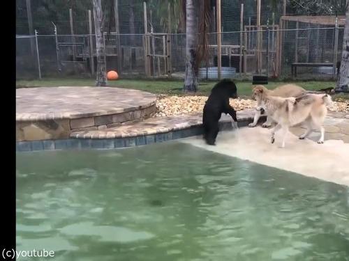 オオカミ、ライオン、クマのじゃれ合い01