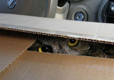 箱の中のフクロウ03