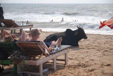 リゾート・ビーチに牛12