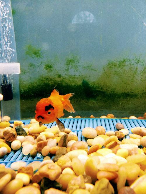 アングリー金魚01