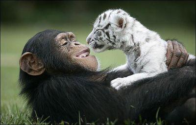 ホワイトタイガーの赤ちゃんとチンパンジー01