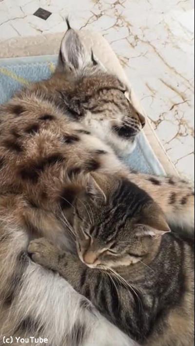 ネコ科の最高お昼寝コラボ04