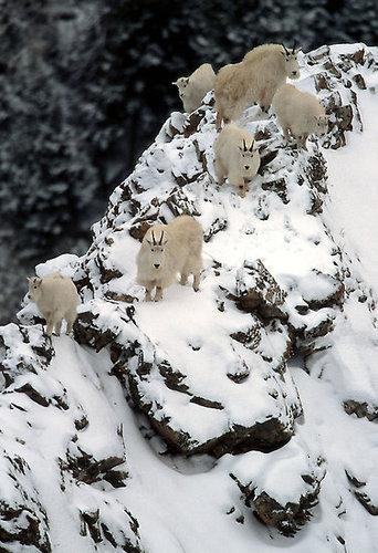 崖の上のヤギ02