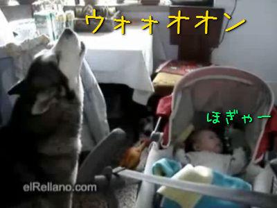 遠吠えで赤ちゃんをなだめる犬