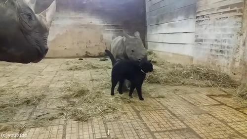 サイの赤ちゃんと猫02