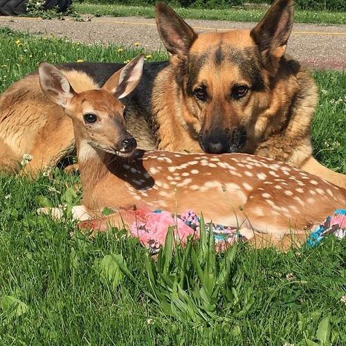 子鹿を世話する犬05