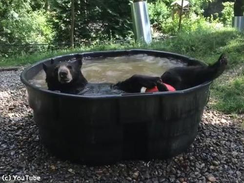 クマ、プールで涼む00