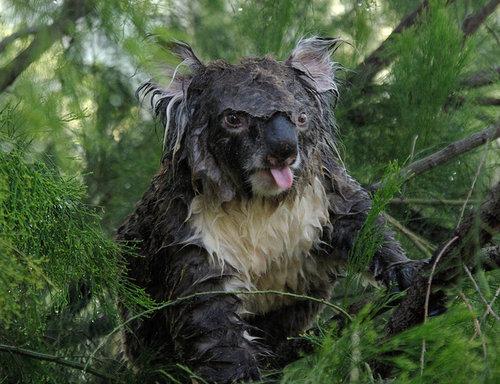 コアラが獰猛なとき04