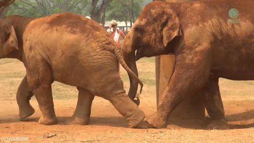 子ゾウ「もっと遊びたい!」母ゾウ「ご飯の時間よ!」08