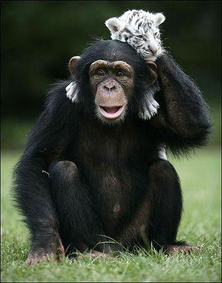 ホワイトタイガーの赤ちゃんとチンパンジー07