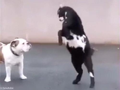 子ヤギが犬に「頭突きアタック」00