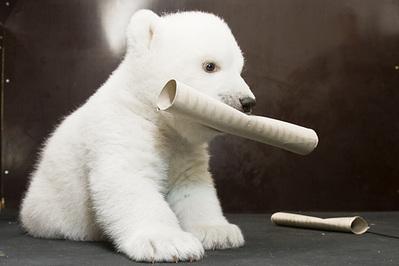 白クマの子供がかわいすぎる09