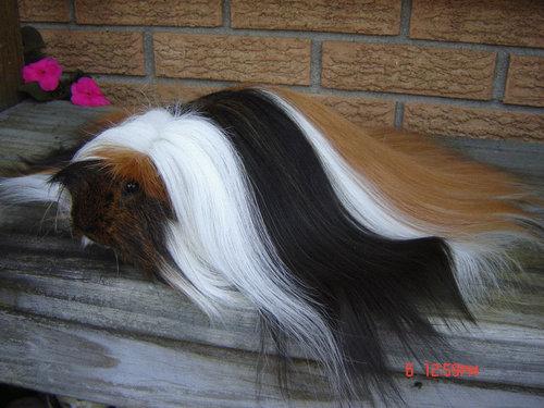 毛の長いモルモット02