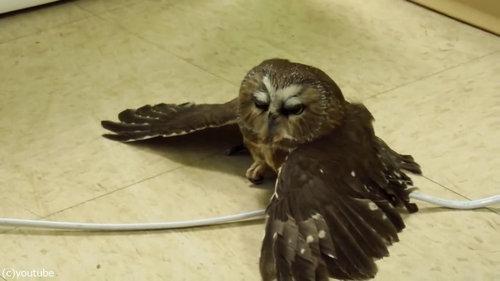 地面を飛ぶフクロウ01