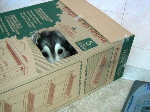 猫みたいなハスキー犬00
