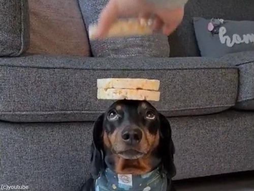 頭の上に8枚のお餅を乗せる犬02