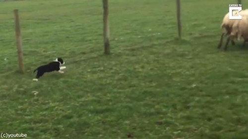 初めての牧羊犬07