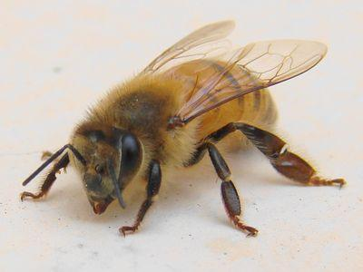 ハチの大群に襲われ家に避難、庭で犬が刺し殺される