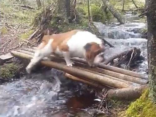 「ブルドッグ、がんばって橋を渡る」02