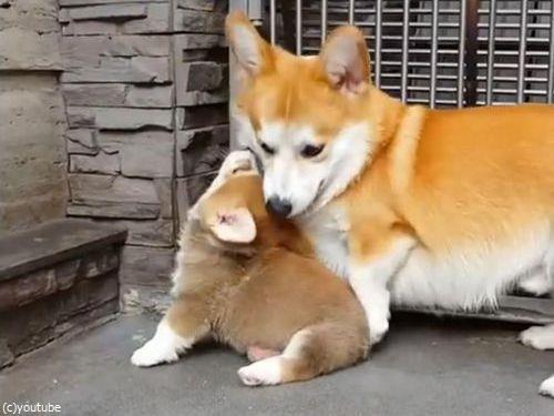 子犬に座り方を教えるコーギーの親02