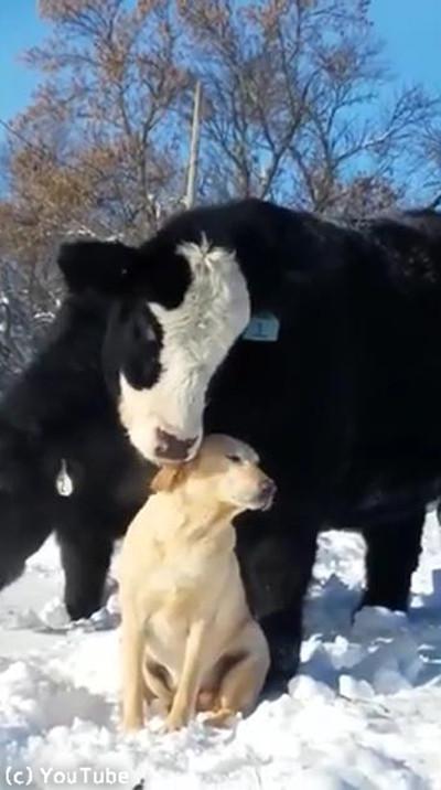 ワンコのことが大好きな牛04