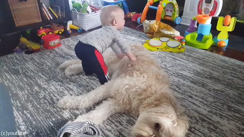 もふもふの犬をベッドにしようとする赤ちゃん01