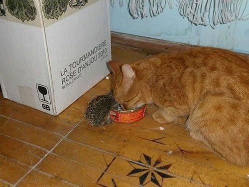 猫とハリネズミの赤ちゃん06