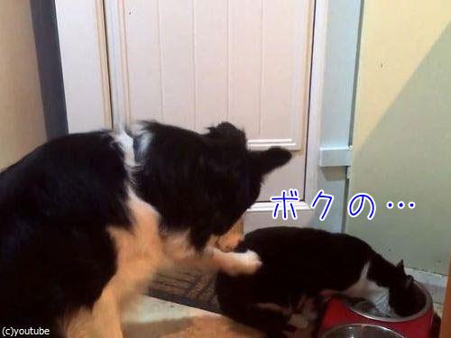 猫にエサを奪われた犬…必死にアピール00