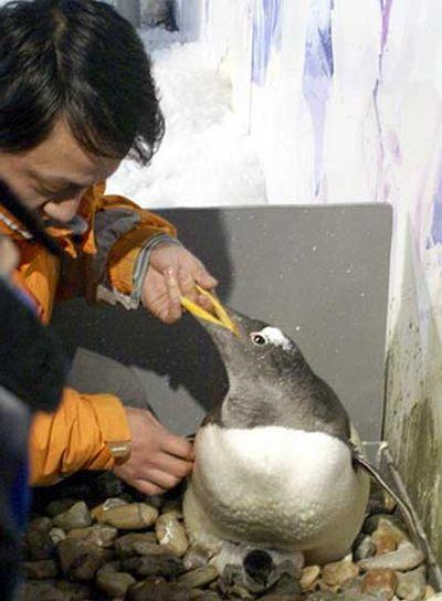 ペンギンのヒナが卵から出てくる一部始終05