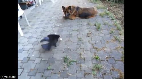 カラスとボールで遊ぶ犬02
