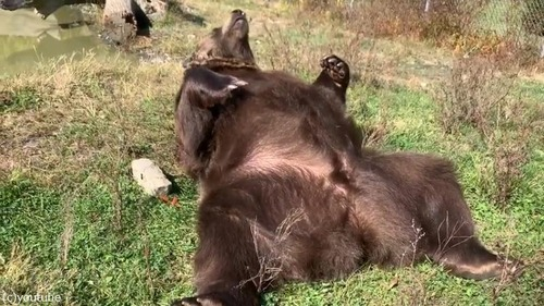 野生を完全に失ったクマ03