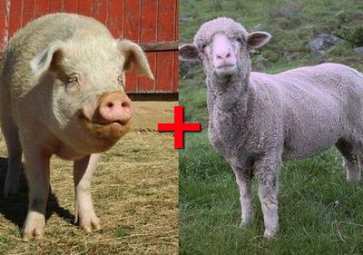ブタとヒツジの交配種はブタに羊毛とツノを付けたような外見を持つ