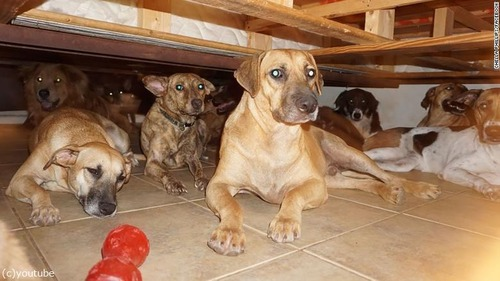 バハマで97匹の犬を保護01