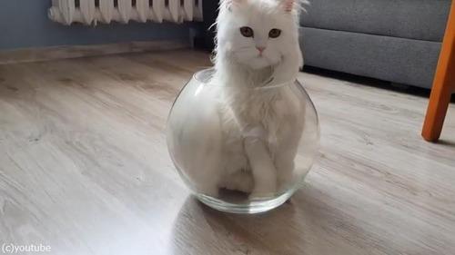 やっぱり液体だ…金魚鉢に入る猫04