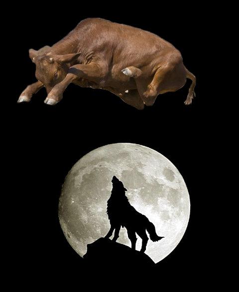 牛のジャンプ力を08