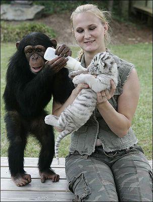 ホワイトタイガーの赤ちゃんとチンパンジー02
