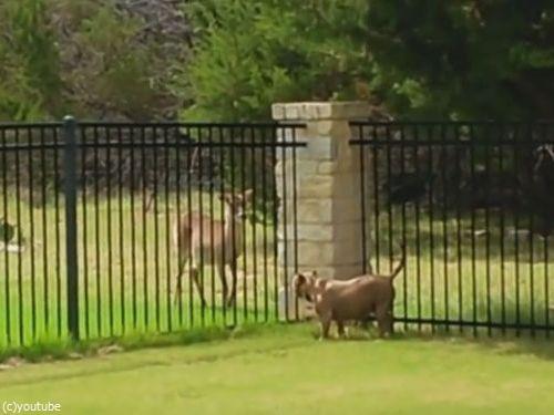 柵越しの犬と鹿03