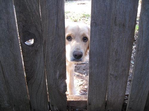 壊れたフェンスの修繕を隣の犬が嫌がる01