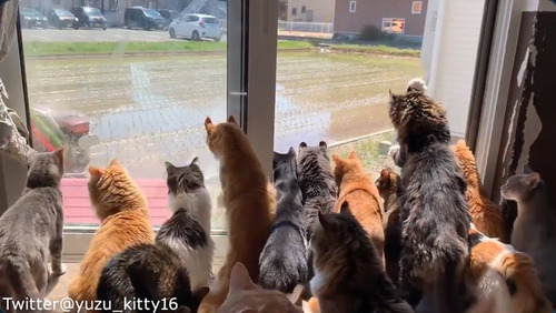 田植えに夢中な猫たち03