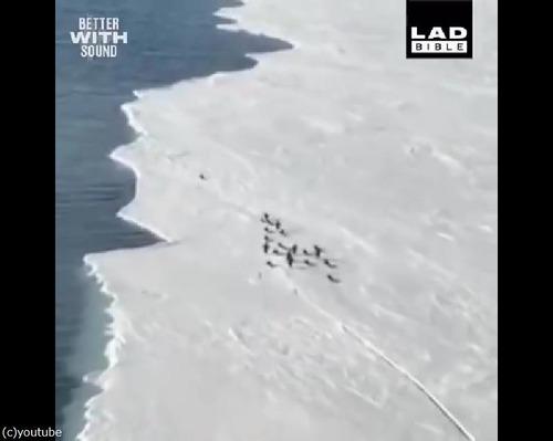 危うく群れからはぐれるペンギン…ハラハラする動画01