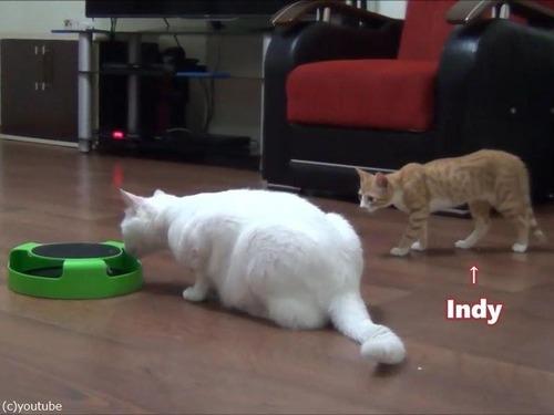 子猫、おとな猫を驚かすのが大好き00