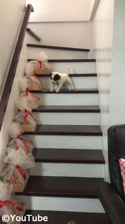階段を下りられない弟を助けるお姉ちゃんワンコ01