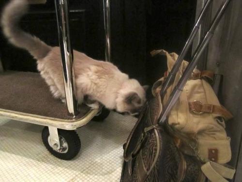 ホテルに勤続7年の猫が引退02