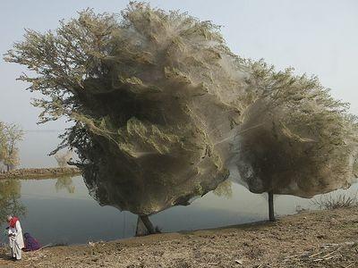 パキスタンでクモ大発生01