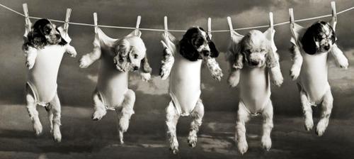 洗濯物として干された子犬たち02