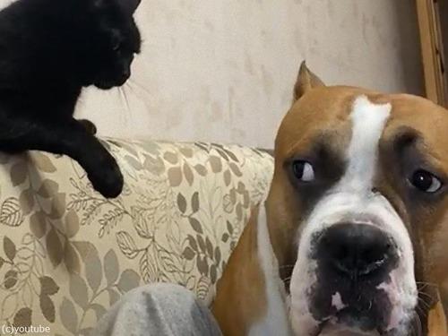 猫、大きな犬に威厳を見せつける00