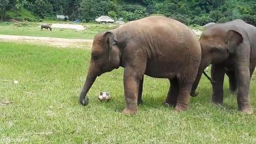 赤ちゃんゾウはサッカーに夢中02