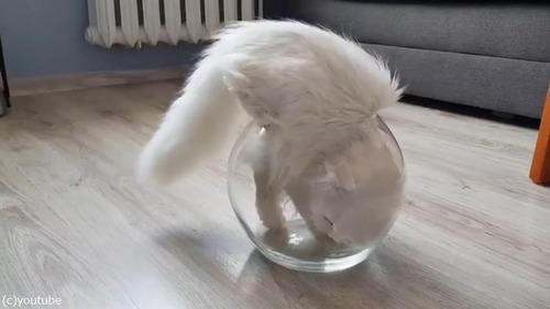 やっぱり液体だ…金魚鉢に入る猫02