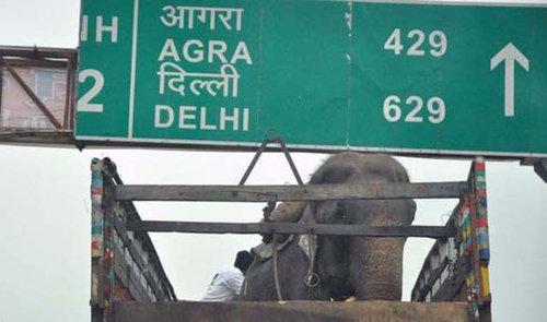 50年間インドで監禁されていたゾウが救出される09