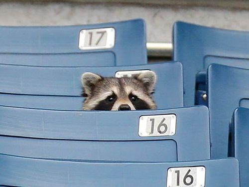 ヤンキースを見るアライグマ02